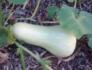 Growing pumpkin.